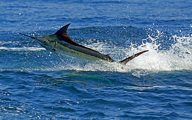 Pez Vela pesca deportiva en Costa Rica