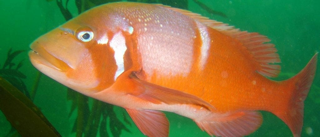 Red Snaper Fish